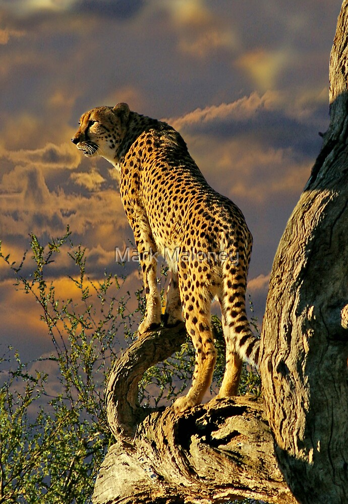 Cheetah by Mark Maloney