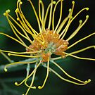 golden grevillea by feeee