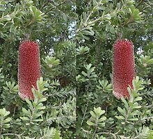 Banksia Praemorsa - 3D Stereo Pair by Rick Edwards