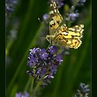 Butterfly on Lavender by janrique