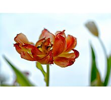 Dancing Tulips Photographic Print