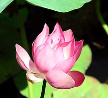 Lotus in Murni's Villas, Bali by JonathaninBali
