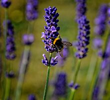 Bee on Lavender by Karen  Betts