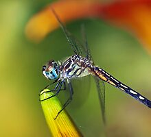 Blue Dasher Dragonfly on Day Lily by Bonnie T.  Barry