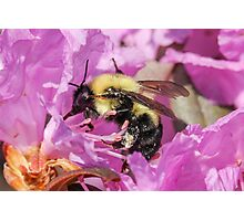 Bee Collecting Pollen Photographic Print