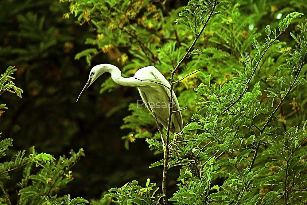 Egret's mood #1 by Prasad