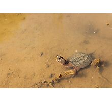 Baby snapping turtle Photographic Print