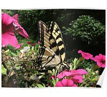 Yellow Swallowtail..... swallowing!   Poster