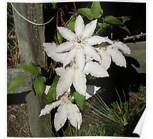 White flower on fence Poster