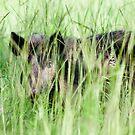 Pig A Boo  by Karen  Moore