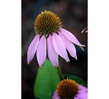 Back Yard Cone Flower Photographic Print