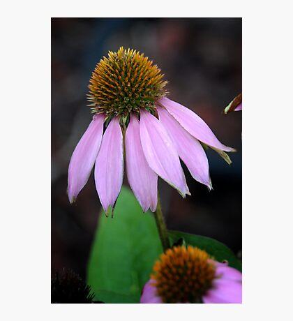 Back Yard Cone Flower Photographic Print