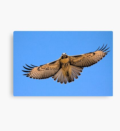0627093 Red Tailed Hawk (Juvenile) Canvas Print