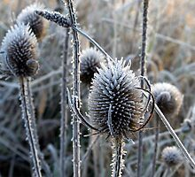 Frosted Teasels by Rachel Slater