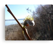 Willow Seedling Canvas Print