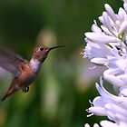 Hummingbird on Flight by saseoche
