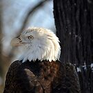 The Bald Eagle by Brian Gaynor