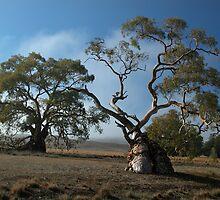 Gum Tree, Flinders Ranges SA by Joy & Rob Penney