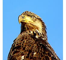 Young Eagle Photographic Print