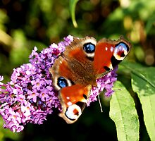Butterfly on Buddelia Flower by catmacphotos