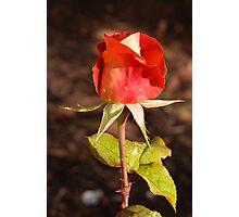 Ian Thorpe Rose Photographic Print