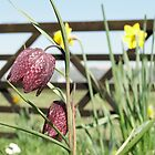 Snakesheads and Daffodils by Barrie Woodward