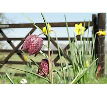 Snakesheads and Daffodils Photographic Print