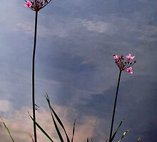 Flowering Rush by Jo Nijenhuis