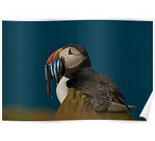 Atlantic Puffin Poster