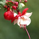 red and white fuschia by wendywoo1972