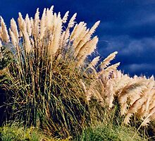 Pampas Grass by Edward Henzi