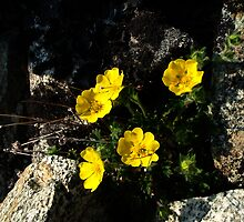 Yellow alpine flowers and rock by LichenRockArts