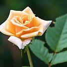 Orange & Cream Rose by PhotosByHealy