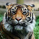 Tiger! by Wayne Gerard Trotman
