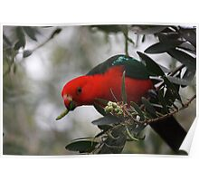 King Parrot, Poster