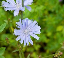 Chicory (Chichorium intybus) by Mike Oxley