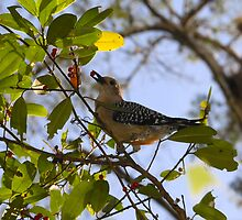 Red-Bellied Woodpecker by David Lee Thompson