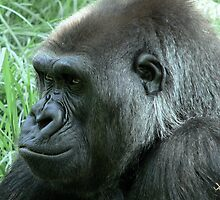 Gorilla at Melbourne Zoo by Tom Newman
