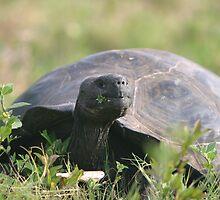 Tortoise by KristyWalker