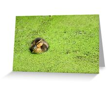 Duckling in Duckweed Greeting Card