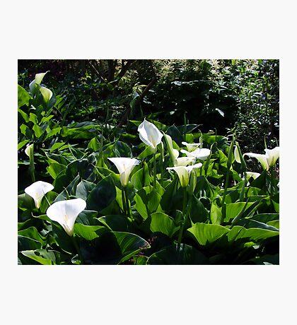Calla Lilies Photographic Print