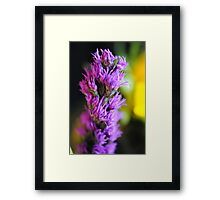 Purple Liatris Framed Print