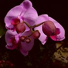 Budding Orchid  by Jay Morgan