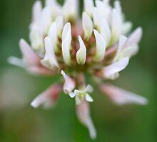In clover.... by Bev Evans