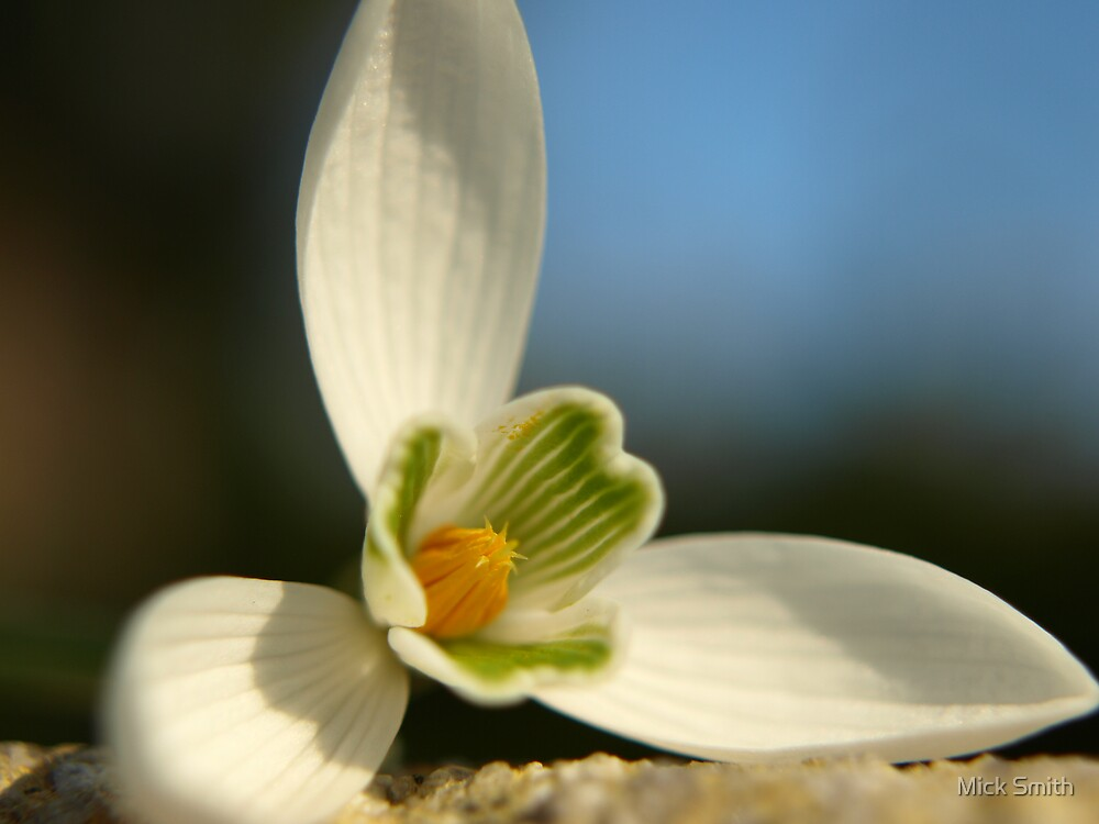 Snowdrop by Mick Smith