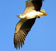 White-bellied Sea-Eagle Marlo Vic. by helmutk