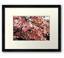 Pink Dogwood Blossoms Framed Print