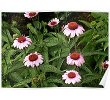 'Wet Coneflowers' Poster