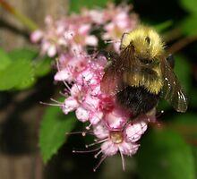 Bee-auty by Barbara Gerstner