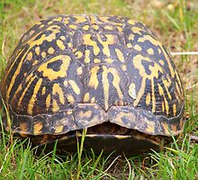 Eastern Box Turtle by Dandelion Dilluvio